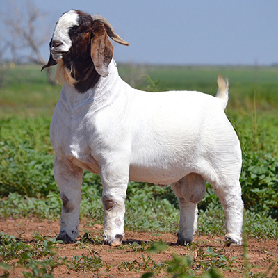 Bucks - Windy Acres Boers